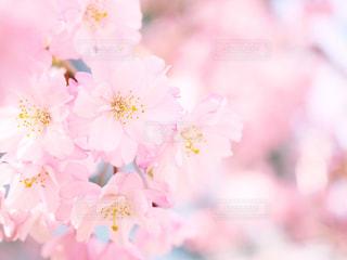 ピンク色の可愛い八重桜の写真・画像素材[1091451]