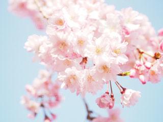 八重桜と空の写真・画像素材[1091452]
