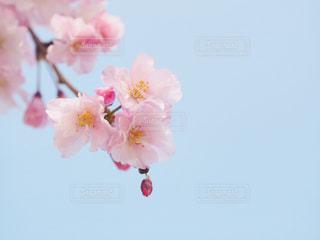 八重桜と空の写真・画像素材[1091454]