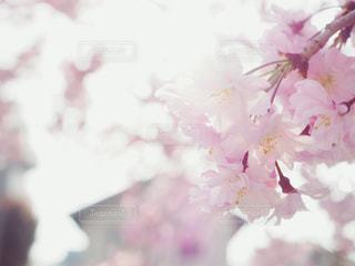 朝の八重桜の写真・画像素材[1091455]