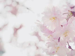 八重桜の写真・画像素材[1091456]