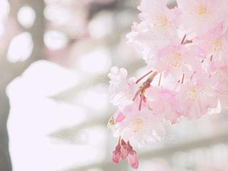 背景に校舎のある八重桜の写真・画像素材[1091457]