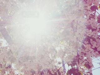 太陽と桜の写真・画像素材[1093507]