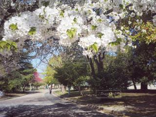 桜と公園の写真・画像素材[1093509]