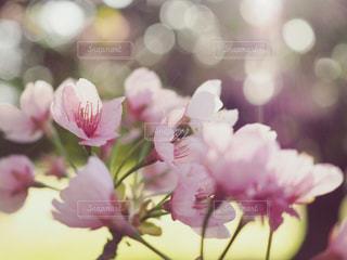 光と桜の写真・画像素材[1094610]