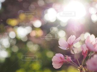 桜と差し込む光と玉ボケの写真・画像素材[1094612]