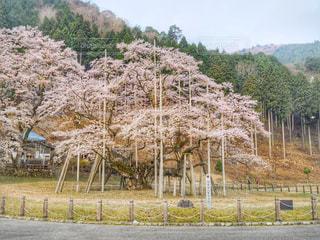 根尾谷淡墨桜の写真・画像素材[1098193]
