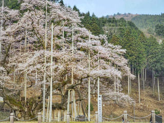 根尾谷淡墨桜の写真・画像素材[1098194]