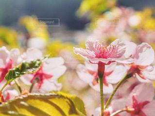 河津桜の写真・画像素材[1100889]