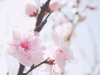 ピンクで可愛いハナモモのアップの写真・画像素材[1100891]