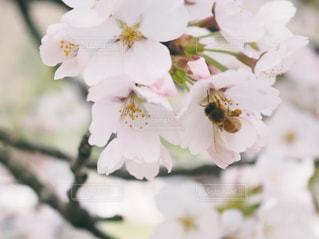 ソメイヨシノと蜂の写真・画像素材[1100892]