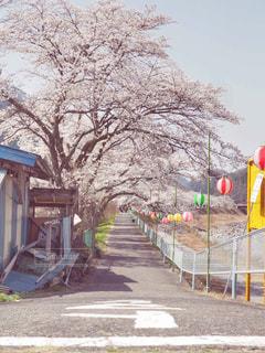 桜の散歩道の写真・画像素材[1100893]