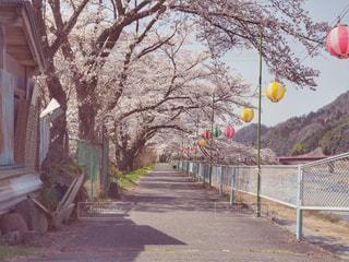 桜の散歩道の写真・画像素材[1100894]