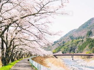 桜のトンネルの写真・画像素材[1100897]