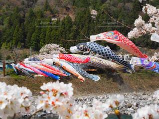 桜と、風にそよぐこいのぼりの写真・画像素材[1100899]