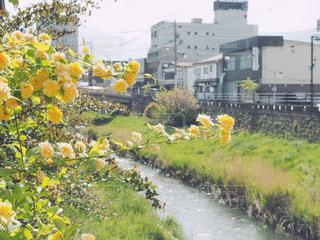黄色のお花と川の写真・画像素材[1152409]