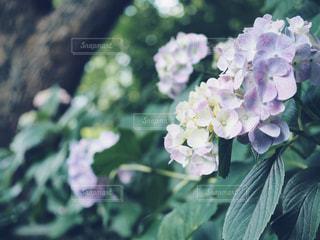 藤森神社の紫色の紫陽花の写真・画像素材[1223839]