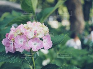 藤森神社の紫陽花の写真・画像素材[1223840]