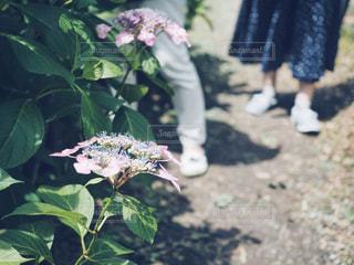 紫陽花と足元の写真・画像素材[1223842]