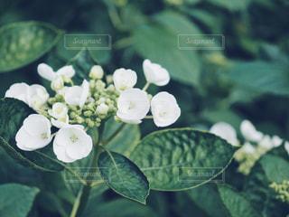 藤森神社の紫陽花の写真・画像素材[1223843]