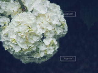 もこもこと密集している白の紫陽花の写真・画像素材[1223844]