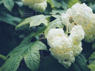 ハートに見える白の紫陽花の写真・画像素材[1223846]