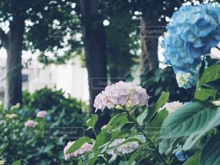藤森神社のあじさい苑の写真・画像素材[1223847]