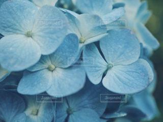 紫陽花のアップの写真・画像素材[1226975]