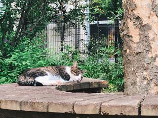 昼寝中の猫の写真・画像素材[1520830]