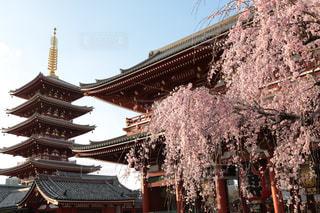 浅草寺の桜の写真・画像素材[1865914]