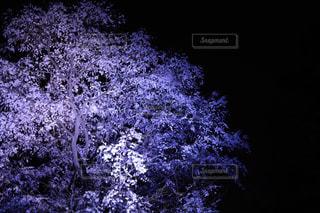 枝垂れ桜のライトアップの写真・画像素材[1871122]