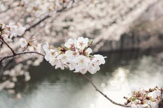 2019.03.28の目黒川の写真・画像素材[1872918]