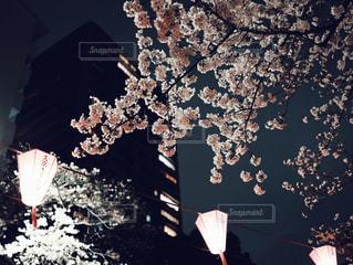 夜桜の写真・画像素材[1876616]