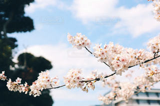 桜の写真・画像素材[1879866]