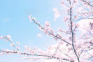 桜の写真・画像素材[1879868]