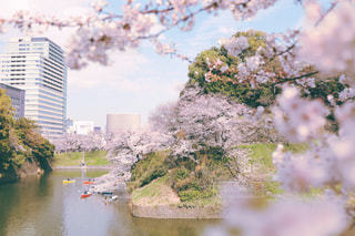 千鳥ヶ淵の桜の写真・画像素材[1879869]
