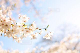 桜の写真・画像素材[1885145]