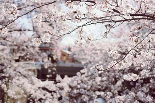 神田川と桜の写真・画像素材[1885165]