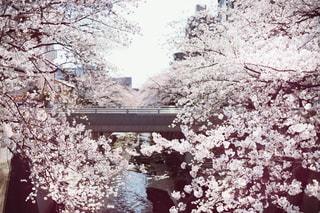 神田川の桜の写真・画像素材[1885176]