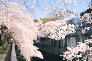 神田川沿いの桜並木の写真・画像素材[1885357]