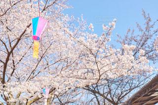 桜の写真・画像素材[1980337]