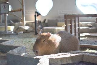 檻の中の齧歯動物の写真・画像素材[986743]
