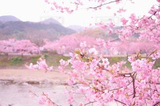 ピンクの花のグループの写真・画像素材[1082757]