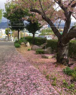 桜 - No.629702