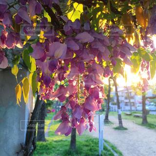 朝の光の写真・画像素材[629729]