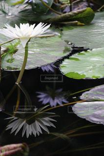 水の中から成長している花 - No.707119