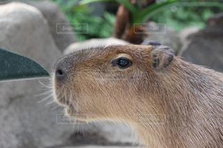 カメラを見て齧歯動物の写真・画像素材[707127]