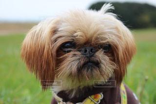 おすまし犬の写真・画像素材[1005455]