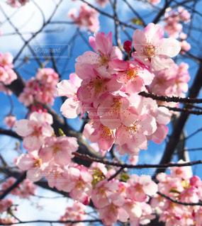 桜さくの写真・画像素材[1042363]