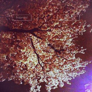 夜桜の写真・画像素材[2358498]